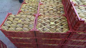 صادرات کیوی طلایی ایران
